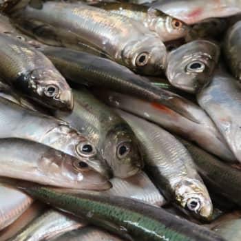 Mångdubbelt mer fisk på tallriken - men vem ska fiska upp den ur havet åt dig?