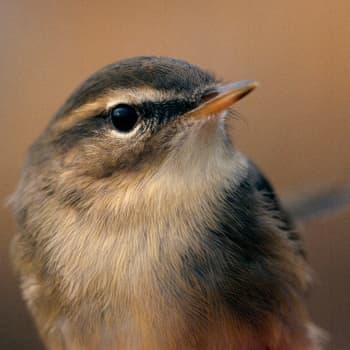 Miltä tuntuu löytää erityisen harvinainen lintu?