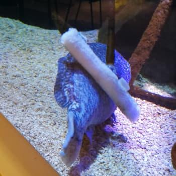 16-vuotias Mikko-meriahven nauttii ruoasta ja harjaamisesta