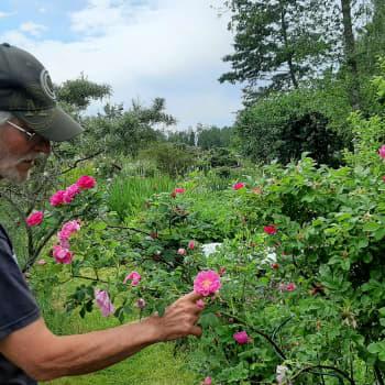 Yli 400 ruusulajia saaressaan viljelevä Ingmar Lindqvist teki mahdottomasta mahdollista.