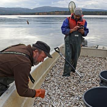 Lapin vedet ja maat ovat Euroopan puhtaimpia mutta siitä huolimatta järvet voivat huonosti.