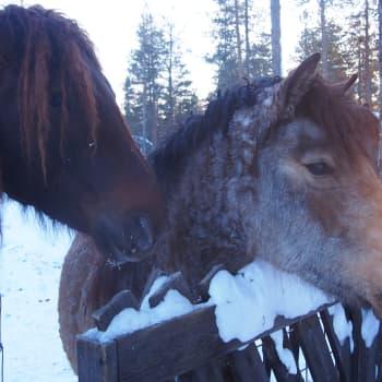 Lapin Curly Talli kasvattaa kiharakarvaisia hevosia - millaisia ne oikein ovat?