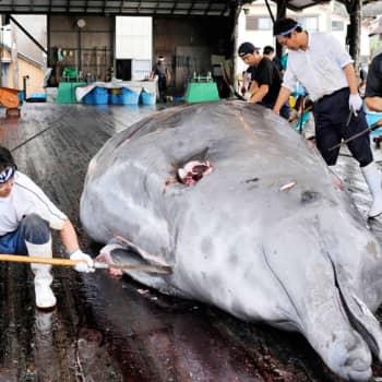 Ajantasa: Miksi japanilaiset pyytävät valaita kiellosta huolimatta?