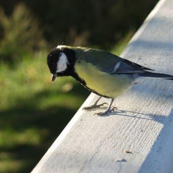 Miks' laulaa lintunen?