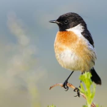 Miks laulaa lintunen?