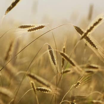 Kuinka viljat löysivät tiensä Suomeen ja mistä niiden nimet tulevat?