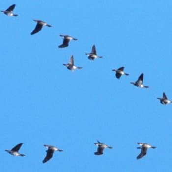 Lintuharrastajat saattavat plokata halin tai knölarin blotalla