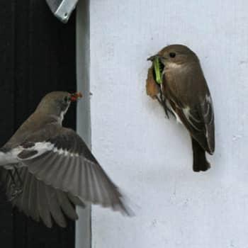 Lintujen nimet ovat omia ja muista kielistä lainattuja