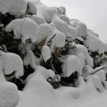 Metsäradio.: Kannattaako kantoja hyödyntää 30.1.2012