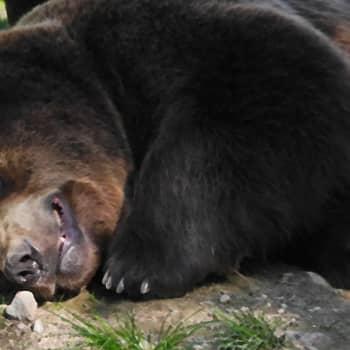 Karhu kintereillä