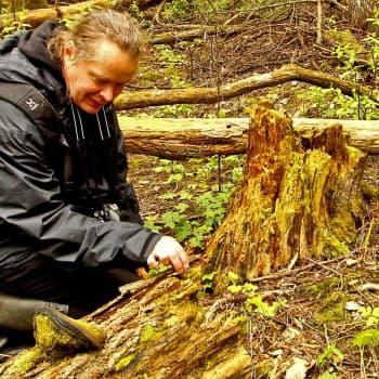 Metsäradio.: Onko lahopuu metsien kultaa?