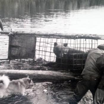 Karhujen häkkipyyntiä Kuusamossa