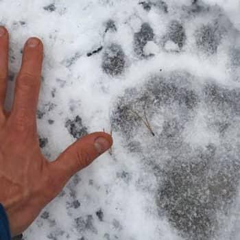 Metsäradio.: Peltsi juoksi Karhunpolkua 140 km