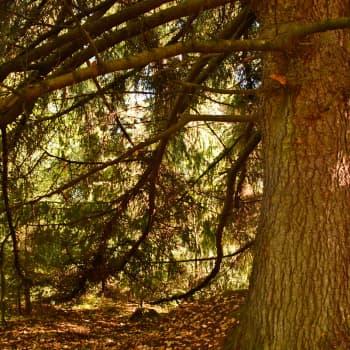Metsän viisi vihreää veljestä: kuusi