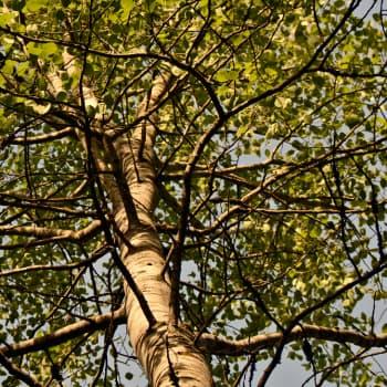 Metsän viisi vihreää veljestä: Haapa