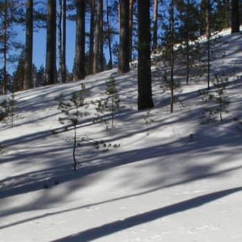Metsäradio.: Osaran aukealla kasvaa talousmetsää