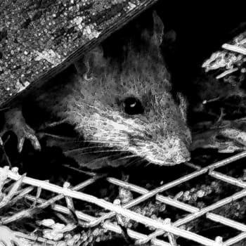Rottia lintujen ruokintapaikalla