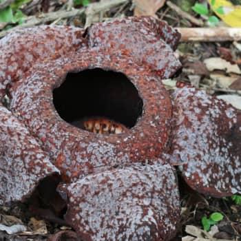 Metsäradio.: Maailman suurin kukka löytyy sademetsästä