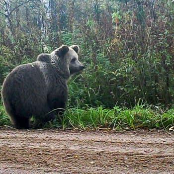 Metsäradio.: Isot eläimet riistakamerassa