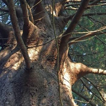 Metsäradio.: Värtsilän tissikuusi suojellaan