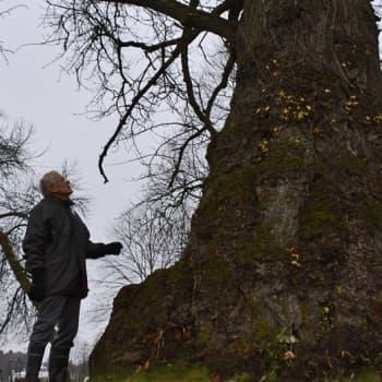 Metsäradio.: Järkälemäinen tsaarinpoppeli kasvaa Heinolassa
