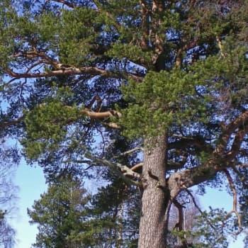 Metsäradio.: Taskilan erikoiset puut
