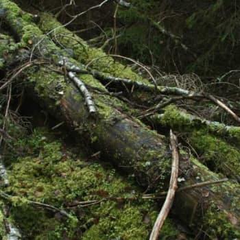 Metsäradio.: Lahopuiden merkitys metsälle 30.1.2012