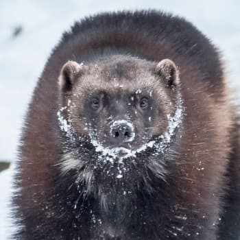 Tuleeko ahmoille pentuja Ähtärin Eläinpuistossa?