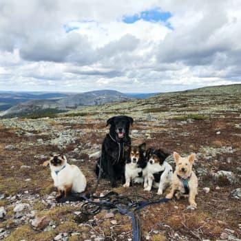 Pessi-kissa ja koirajengi ovat kokeneita Lapin vaeltajia – pesue matkustaa Maskusta pohjoiseen useita kertoja vuodessa