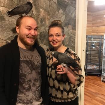 Rosella-papukaija Nuppu selviytyi kylmässä Suomen luonnossa kaksi kuukautta – nyt lintu elää papukaijapariskunnan turvakodissa