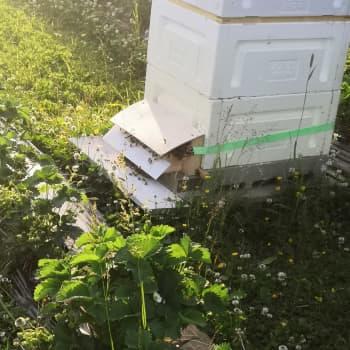 Mansikkatilallisen yllättävä apuri: mehiläiset homeen torjunnassa