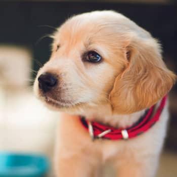 Kannattaako koira hankkia korona-aikana?
