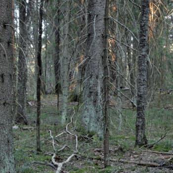 Luonto-Suomi.: Vanhojen metsien ilta