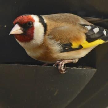 Lintujen talviruokintailta