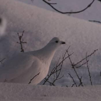 Luonto-Suomi.: Ranskalainen riekko