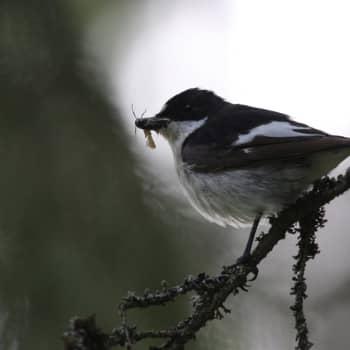 Luonto-Suomi.: Miljoona linnunpönttöä: Pönttölintujen kevätkonsertti