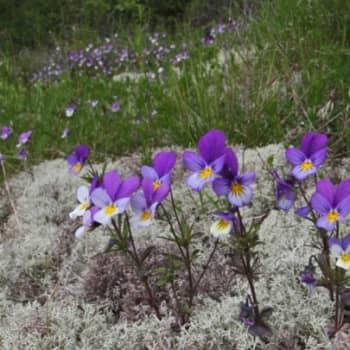 Luonto-Suomi.: Kuninkaansaaressa