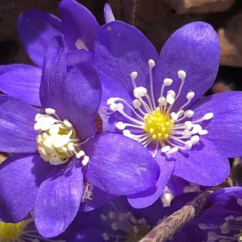 Kevät muuttuu - miten käy lintujen, kasvien ja pölyttäjien?