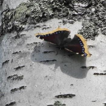 Luonto-Suomi.: Luonto-Suomen perhosilta