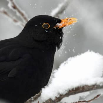Luonto-Suomi.: Monille linnuille talvi on raskasta aikaa - miten ne selviävät?