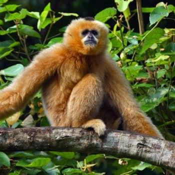 Luonto-Suomi.: Apinat vähenevät Aasiassa 1.2.2012