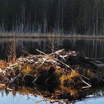 Luonto-Suomi.: Majavaretkellä Lammin Evolla