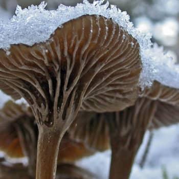 Suppiksia lumisateessa - loppusyksyn sieni-ilta