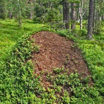 Luonto-Suomen muurahaisilta