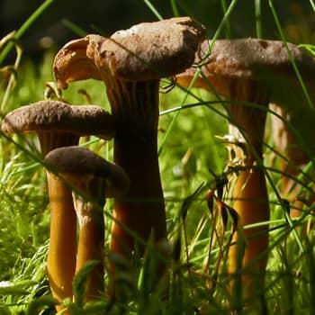 Luonto-Suomen sieni-ilta
