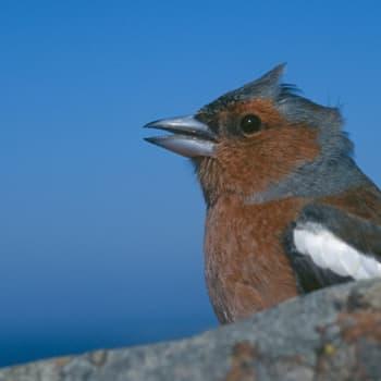 Luonto-Suomi.: Linnunlaulujen toivekonsertti