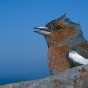 Linnunlaulujen toivekonsertti