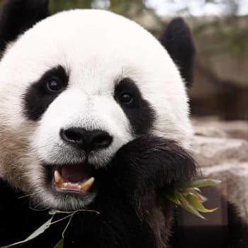 Tiedeykkönen: Kiinan pandadiplomatia tuo Suomeen karhupariskunnan