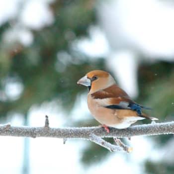 Tiedeykkönen: Lintujen kevätmuutto - Suomeen tulee uusia lintulajeja, mutta monet perinteiset lajit ovat taantumassa