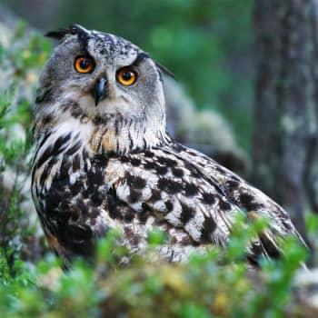 Tiedeykkönen: Häviääkö huuhkaja Suomesta? Linnut ympäristömuutoksen kourissa